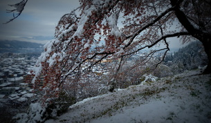 雪桜「雪に負けるなよ」の写真素材 [FYI00229252]
