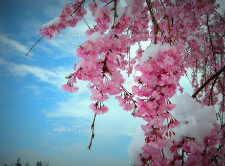 枝垂れ桜「名残雪」の素材 [FYI00229253]