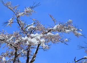 桜「青空に雪を載せて」の素材 [FYI00229254]