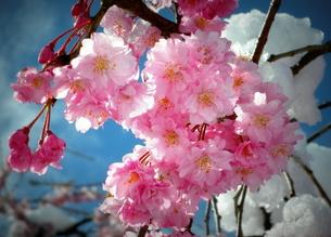 八重の枝垂れ桜「雪なんかに負けないぞ」の写真素材 [FYI00229259]