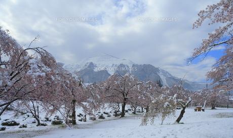 桜「雪の試練」の素材 [FYI00229266]