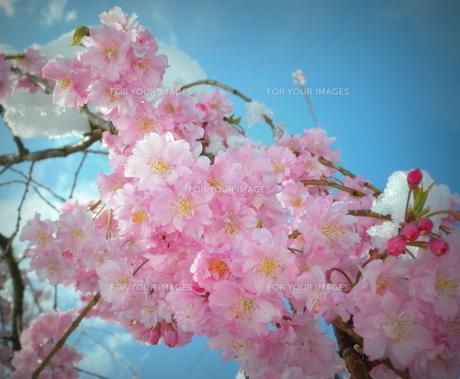 枝垂れ桜「雪化粧」の素材 [FYI00229268]