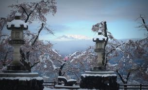 桜「雪に負けそう」の写真素材 [FYI00229271]