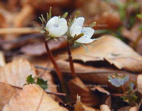 節分草これから二人一緒に咲きますよの写真素材 [FYI00229290]