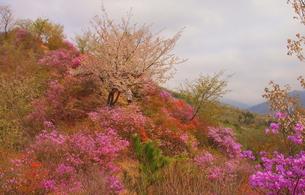 秩父紫の春「いわつつじ」の素材 [FYI00229439]