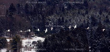 雪の来た山里に白鳥の群れの素材 [FYI00229514]