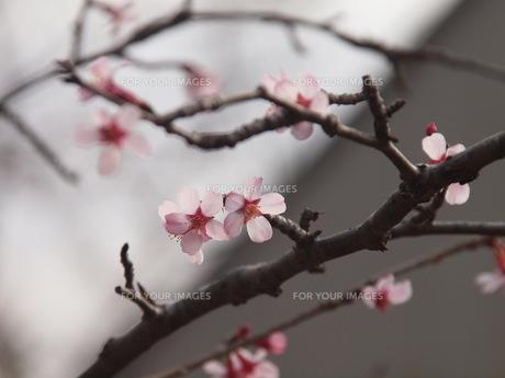 枝振りもいい秩父ブコウ豆桜の素材 [FYI00229519]