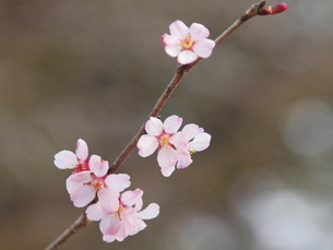 秩父豆桜の小さい花の素材 [FYI00229520]