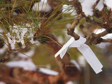 塩釜神社境内の赤松におみくじの写真素材 [FYI00229527]