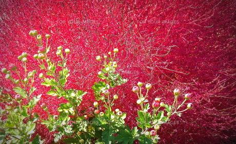 紫のほうき草と小菊の写真素材 [FYI00229575]