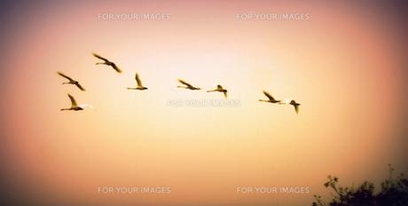 餌場に飛び立つ白鳥の写真素材 [FYI00229606]