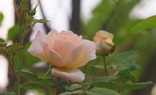 薔薇「薄いピンクほのかな恋」の写真素材 [FYI00229636]