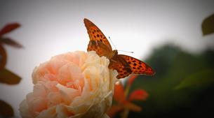 薔薇「アサギマダラのお気に入り」の写真素材 [FYI00229642]