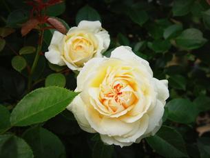 白いバラ「大輪の主張」の素材 [FYI00229653]