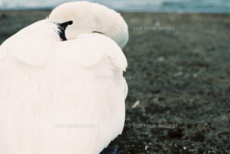 白鳥のポートレートの写真素材 [FYI00229692]