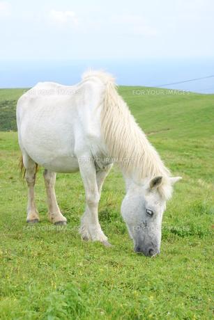 草を食べる白馬の写真素材 [FYI00229762]
