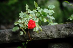 薔薇の写真素材 [FYI00229775]