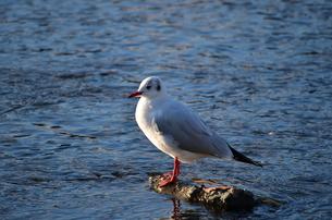水辺で魚を待つ水鳥の写真素材 [FYI00229821]