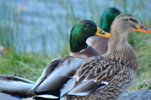 つがいの鴨の写真素材 [FYI00229823]