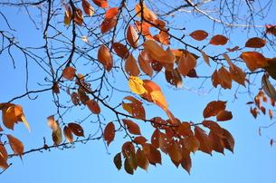 透き通る空の色と、枯れ葉の写真素材 [FYI00229834]
