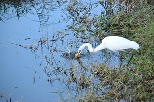 水鳥のハンティングの写真素材 [FYI00229838]
