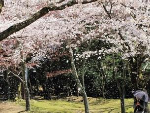 桜吹雪の写真素材 [FYI00229864]