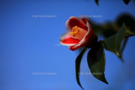 青空と椿の写真素材 [FYI00229943]