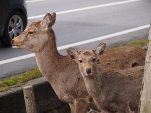 奈良の鹿2の写真素材 [FYI00229963]