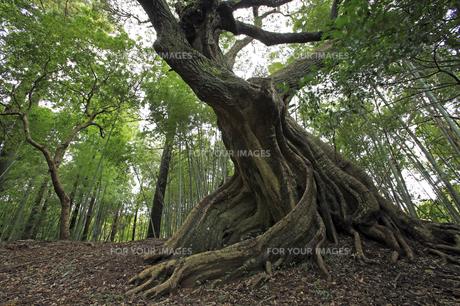 スダジイの巨木。の素材 [FYI00230329]