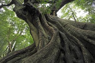 巨樹の素材 [FYI00230348]