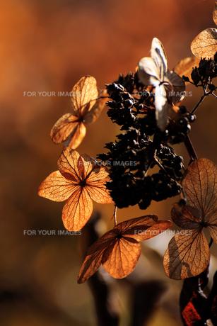 山アジサイの枯れ花の素材 [FYI00230416]