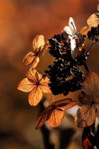 山アジサイの枯れ花の写真素材 [FYI00230416]