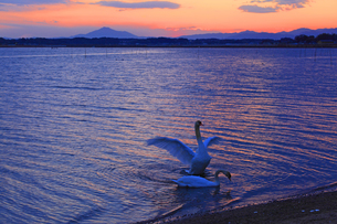 夕暮れと白鳥の写真素材 [FYI00230469]
