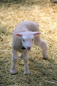 立ち上がる子羊の素材 [FYI00230555]