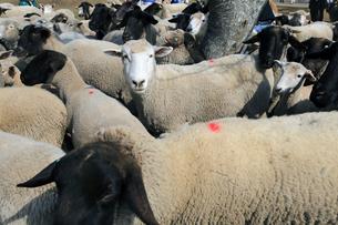 羊たちの写真素材 [FYI00230569]