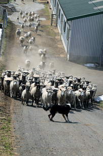 羊と牧羊犬の写真素材 [FYI00230570]