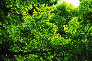 透き通る新緑の写真素材 [FYI00230593]