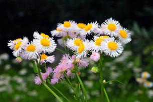 春紫苑 (はるじおん)の写真素材 [FYI00230594]