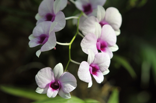 胡蝶蘭 Phalaenopsis aphroditeの写真素材 [FYI00230602]