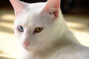 白猫の写真素材 [FYI00230631]