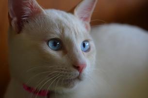 凛々しい猫の写真素材 [FYI00230632]