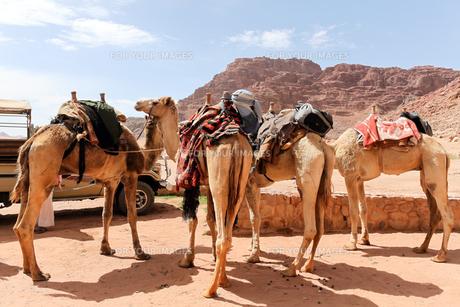 ワディラム砂漠のラクダの写真素材 [FYI00230828]