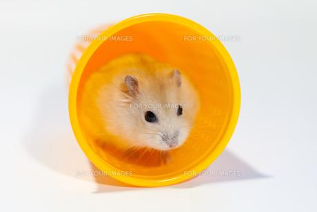 オレンジのカップでくつろぐハムスターの写真素材 [FYI00230833]