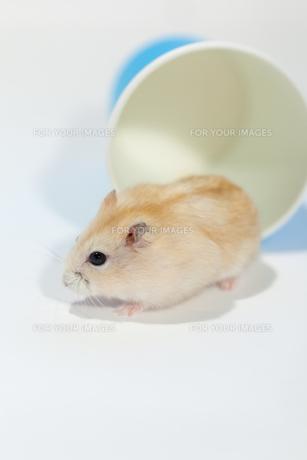 プディングハムスターと青い紙コップの写真素材 [FYI00230837]