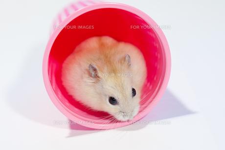 ピンクのカップとハムスターの写真素材 [FYI00230840]