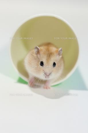 紙コップで遊ぶハムスターの写真素材 [FYI00230842]