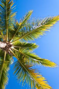 ヤシの木と青空の写真素材 [FYI00230899]
