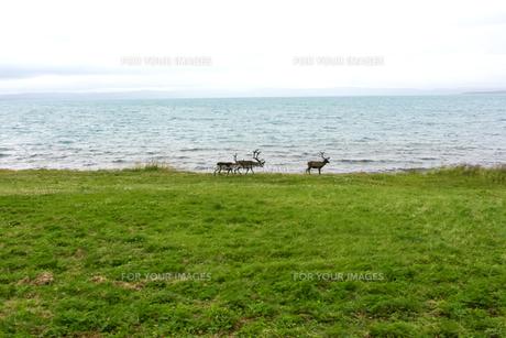 ノルウェーの海岸を歩くトナカイの写真素材 [FYI00230957]