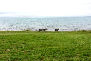 ノルウェーの海岸を歩くトナカイの素材 [FYI00230957]