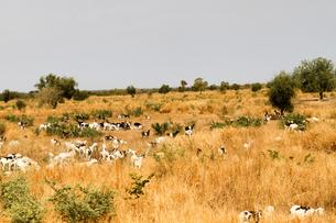 マリ、草原のヒツジの写真素材 [FYI00231001]